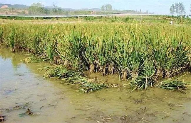 稻田怎么养泥鳅