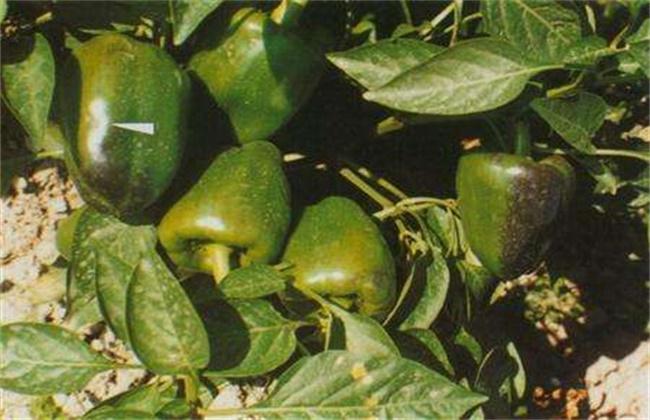 甜椒死棵原因及防治方法