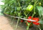甜椒高产施肥技术