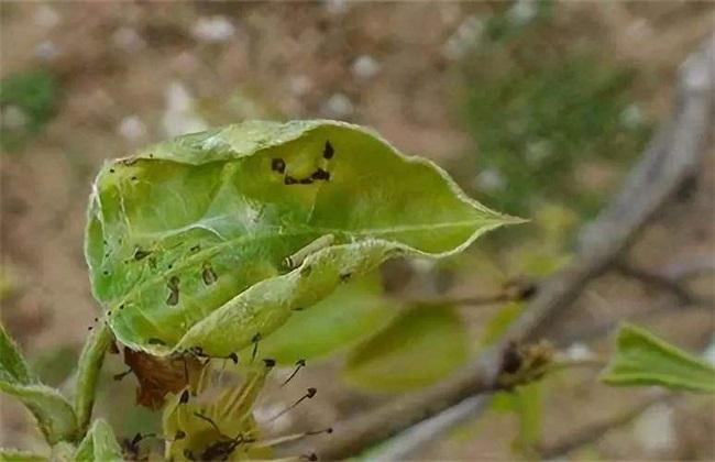 龙眼卷叶蛾的防治方法