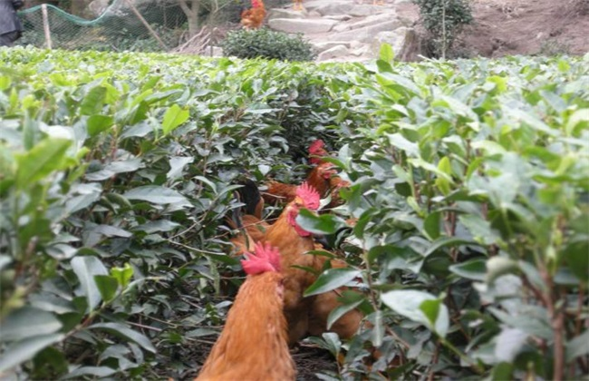 茶园养鸡 优势 好处