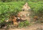 茶园养鸡的优势