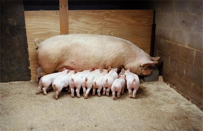 怎样提高 母猪 泌乳量