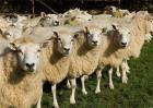 如何预防养羊场中羊病的发生