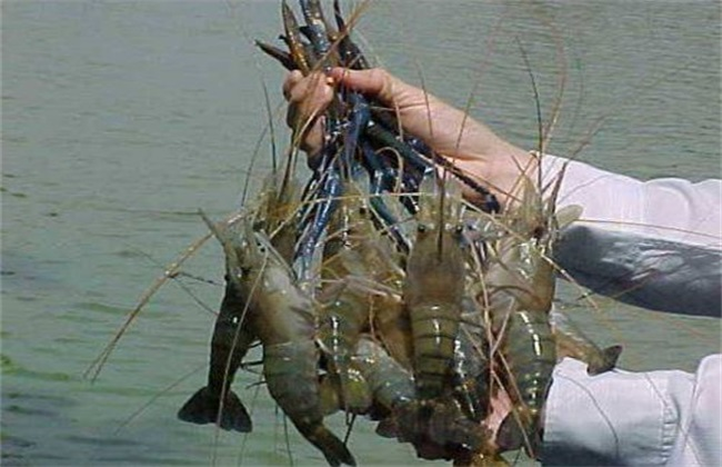 罗氏沼虾 养殖 管理要点
