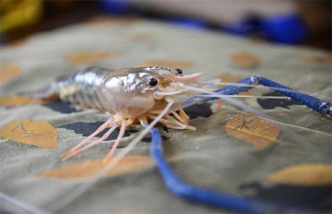 罗氏沼虾养殖条件