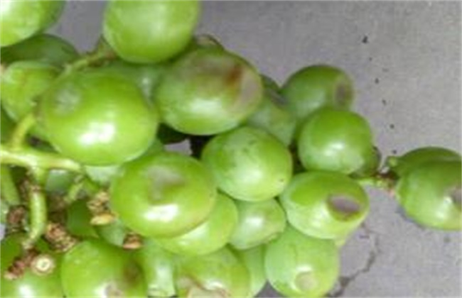 葡萄缩果原因及防治措施