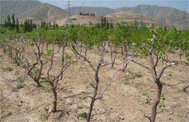 枣树 繁殖方法 繁殖技术