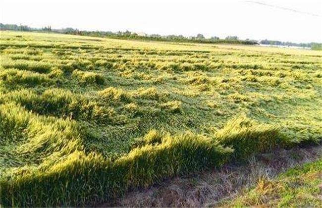 怎么防治小麦倒伏