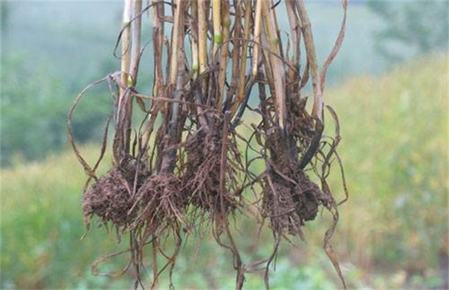 小麦全蚀病 发病症状 防治