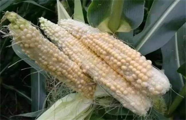 玉米果穗结实差原因