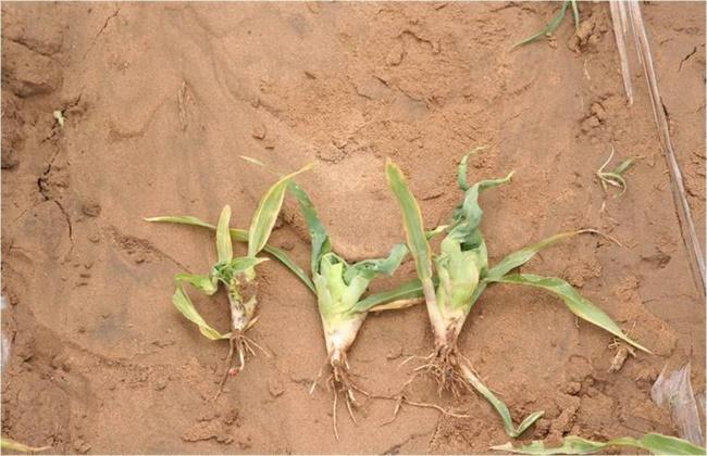 玉米药害解决方法