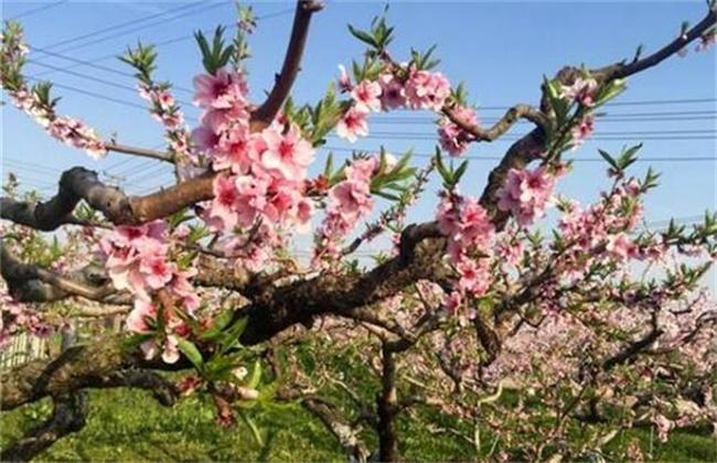 桃树花期管理要点