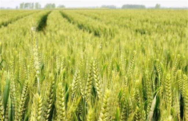 小麦灌浆管理要点