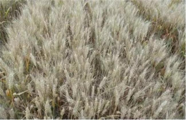 小麦干热风防治措施
