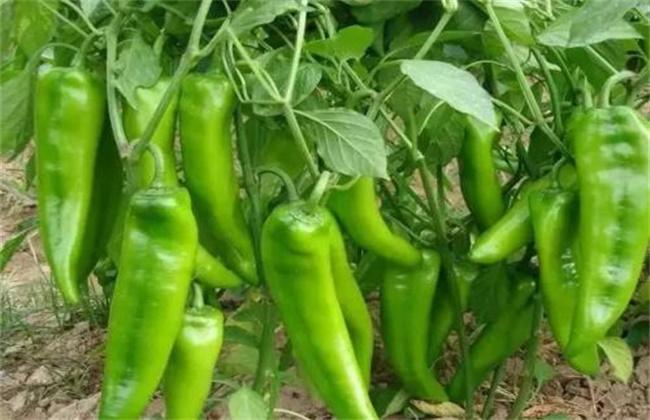 青椒种植技术