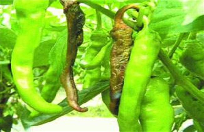 青椒烂果原因及防治方法