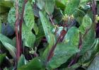 紫菜薹种植技术