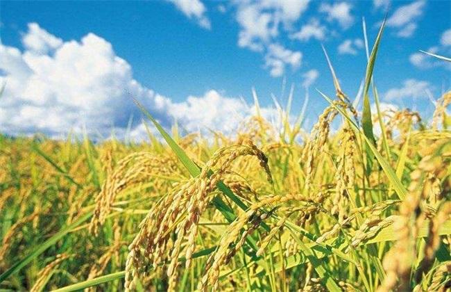 水稻 如何管理 防治病虫害