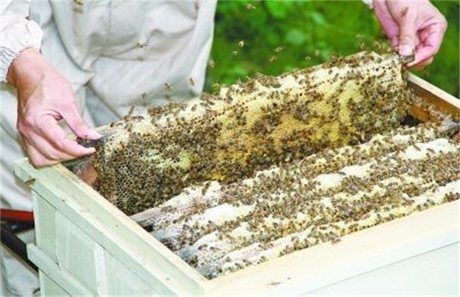 蜂群检查目的及注意事项