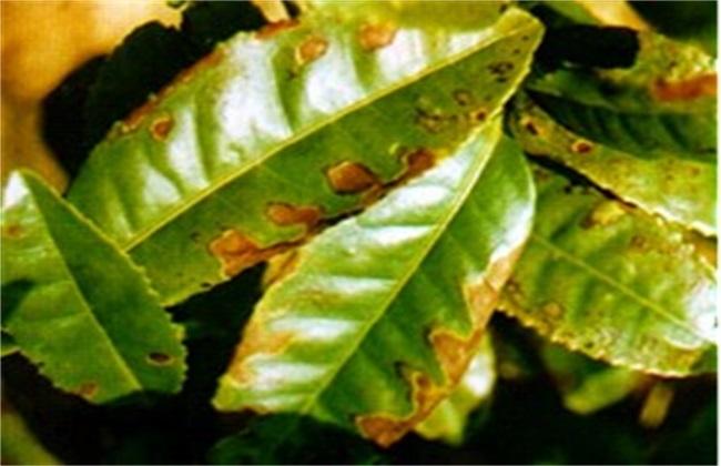 茶树炭疽病防治技术
