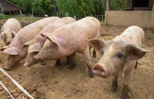 夏季 养猪 常见问题