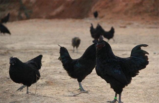 如何提高 乌鸡 产蛋率