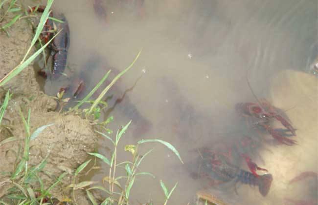 阴雨天 小龙虾池塘 管理要点