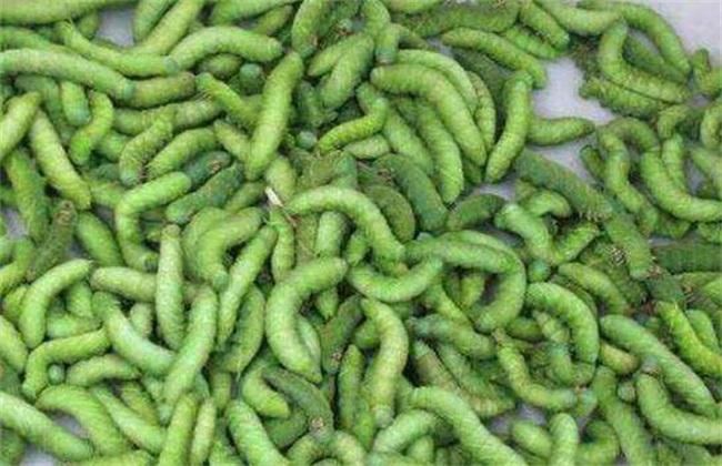 豆虫养殖技术