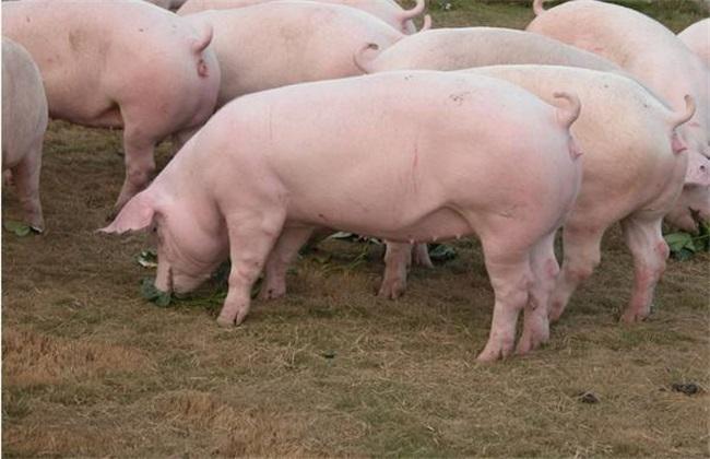 母猪 化胎不产 怎么办