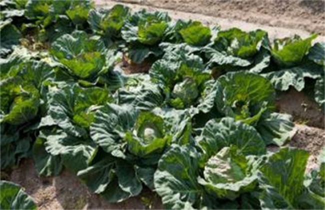 卷心菜病虫害防治方法
