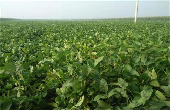 毛豆种植如何提高产量