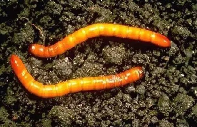 怎样防治金针虫_金针虫最好的防治方法_有什么办法防治金针虫