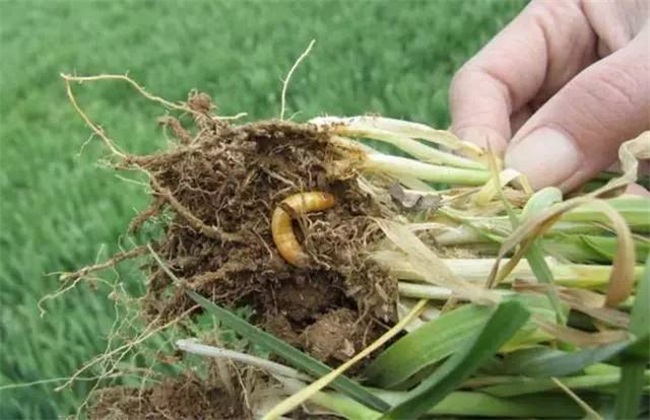 金针虫防治措施图片