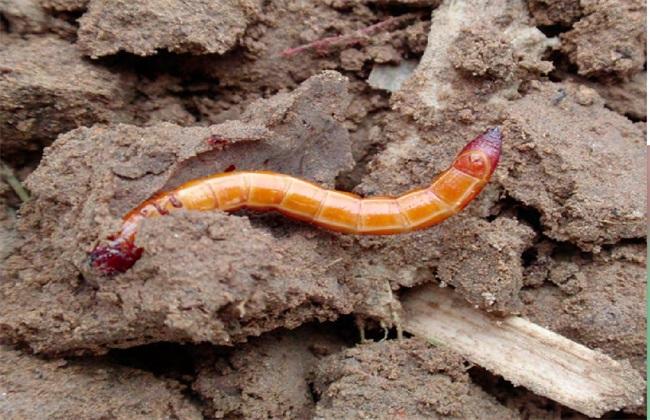 金针虫最好的防治方法图片