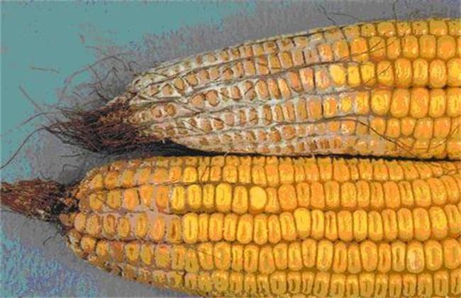 玉米穗腐病的防治方法