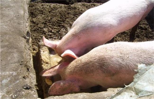 酒糟 喂猪技术 注意事项