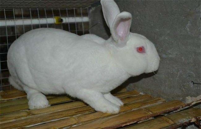 獭兔 养殖 注意事项