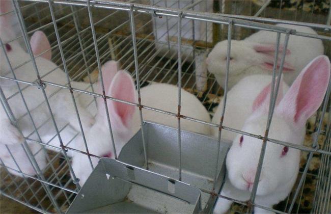 獭兔 配种技术 配种方法