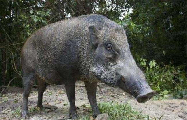 野猪养殖常见误区