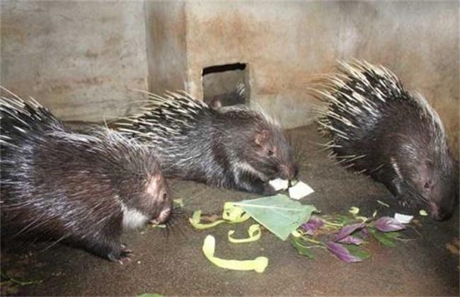 豪猪 繁殖技术 繁殖准备