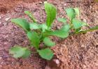 萝卜死苗的防治方法