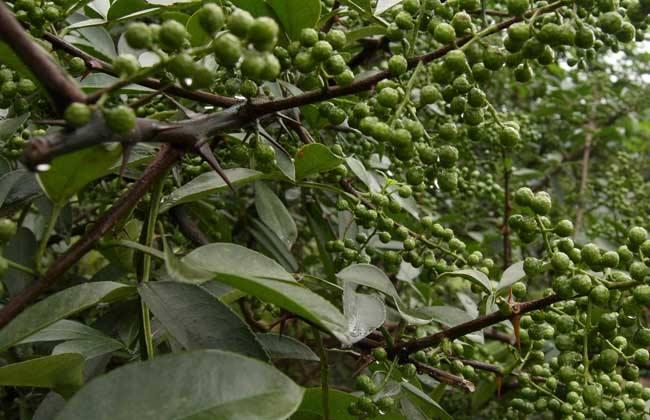 花椒的采收时间与方法