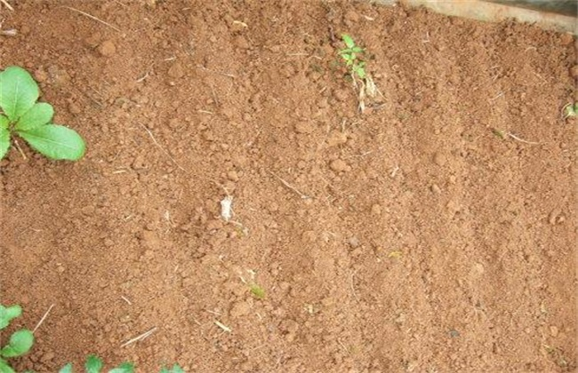 小香葱的种植方法