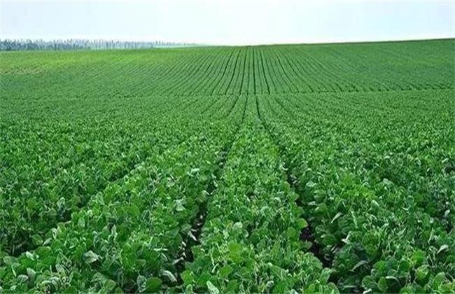 如何判断大豆是否旺长