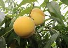 黄桃果园管理技术