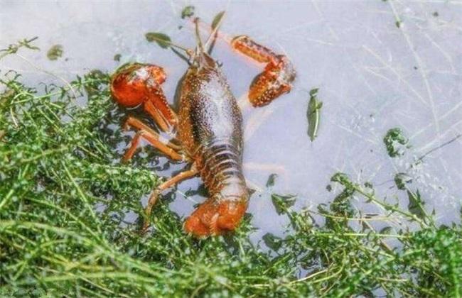 影响龙虾养殖效益的因素