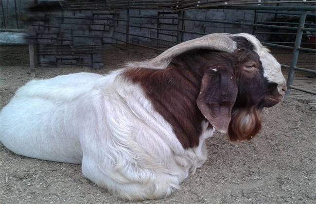 波尔山羊饲养管理技术