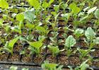 西兰花的种植条件