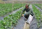 草莓施肥注意事项